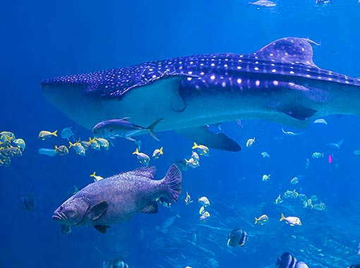 Whale shark a beautiful animal with which you can swim in your Cancun all-inclusive vacation