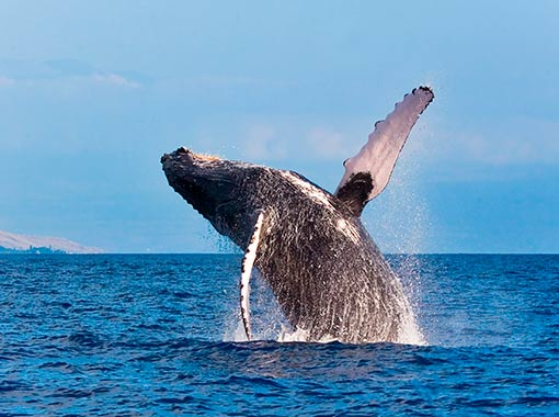 Enjoy the majestic spectacle of the whales in Los Cabos