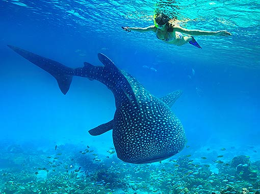 Swim with the whale shark and admire the seascape in your all-inclusive vacation in Cancun